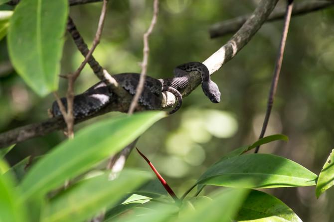 Pit Viper in Mangrove